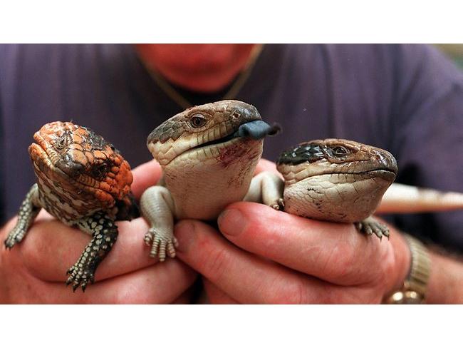 571370-lizards.jpg