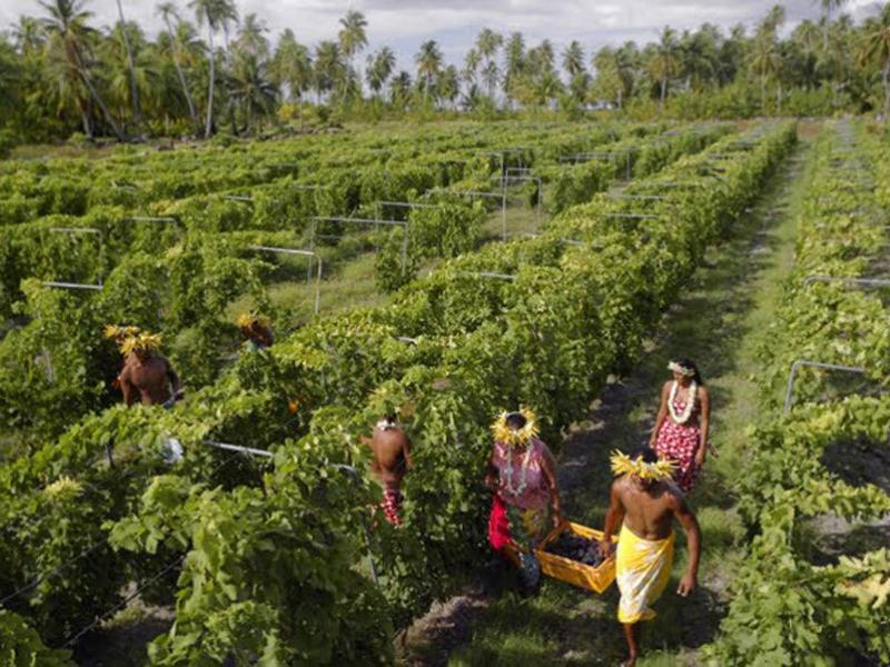 39-Vins-de-Tahiti-Vendanges